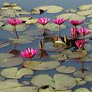 Pink Lotus by Christophe Dur