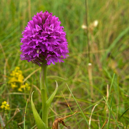 Pyramidal Orchid, Inishmore, Aran Islands  by George Row