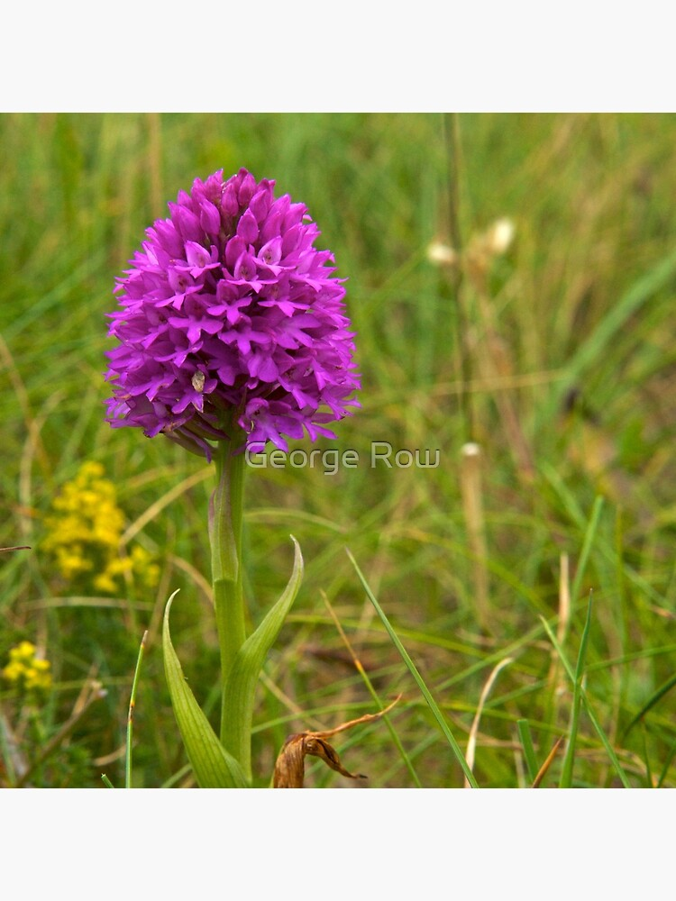 Pyramidal Orchid, Inishmore, Aran Islands  by VeryIreland