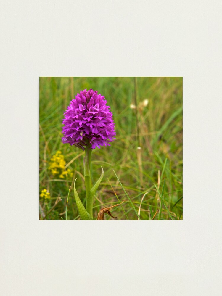Alternate view of Pyramidal Orchid, Inishmore, Aran Islands  Photographic Print