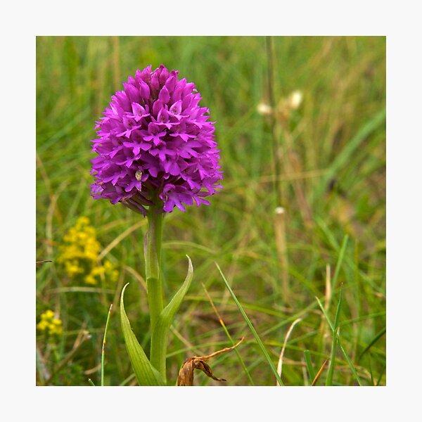 Pyramidal Orchid, Inishmore, Aran Islands  Photographic Print