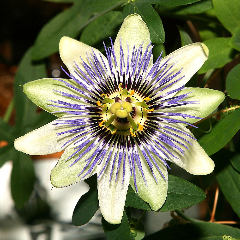 Passion Flower by dsargent