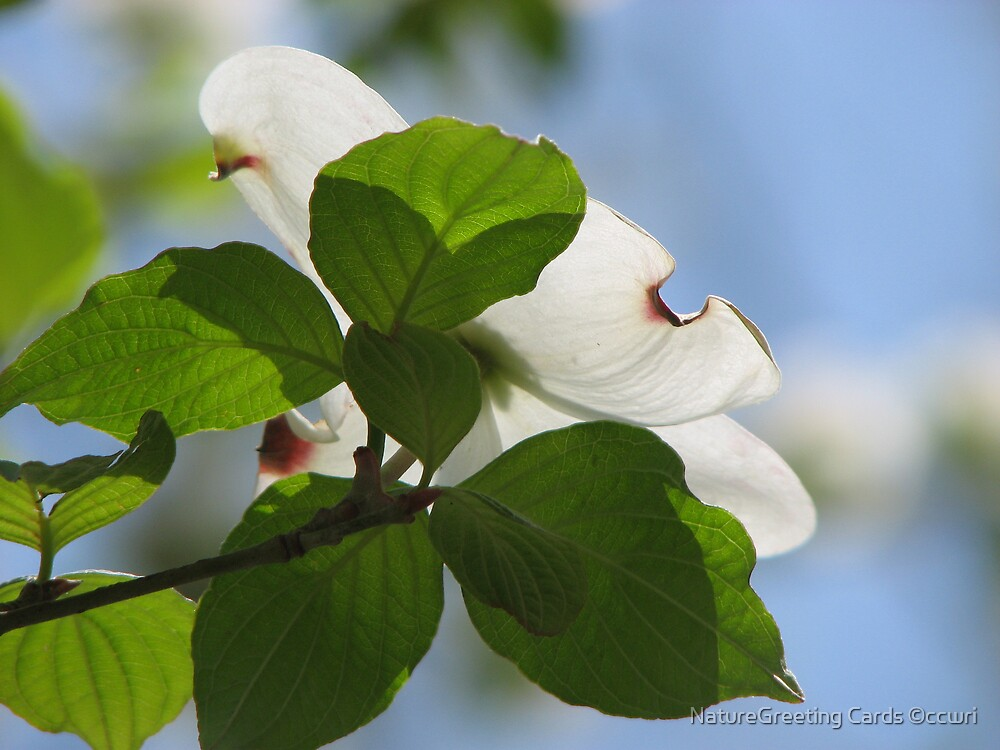 Dogwood Bloom, Facing The Sun by NatureGreeting Cards ©ccwri