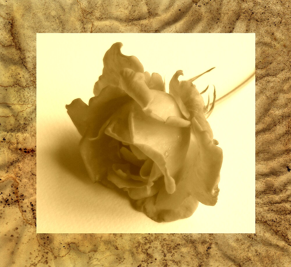 Antique Rose by mariarty