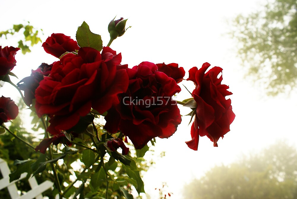 Roses in the mist by Cking1575