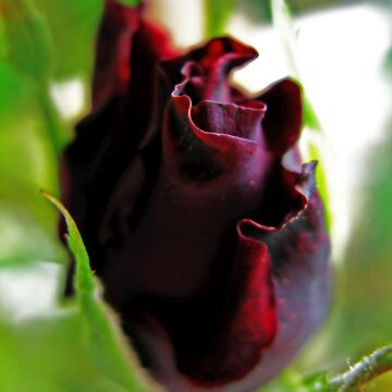 Blackened Rose by LondonSavoy