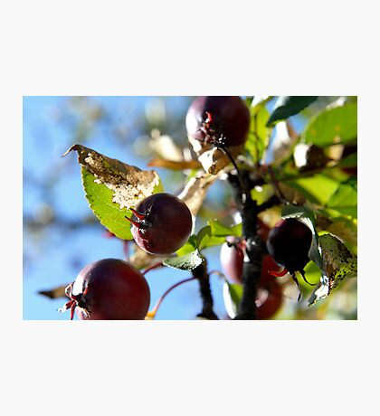 Apparently Apples Photographic Print