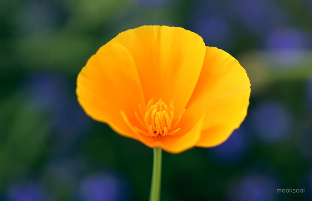 Californian poppy with bokeh by mooksool