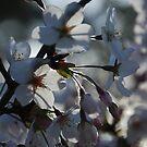 Blossom by Catherine Davis