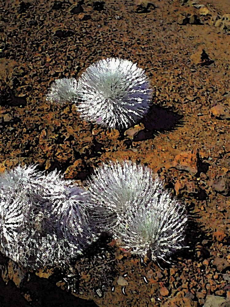 Haleakala Silversword by THConway