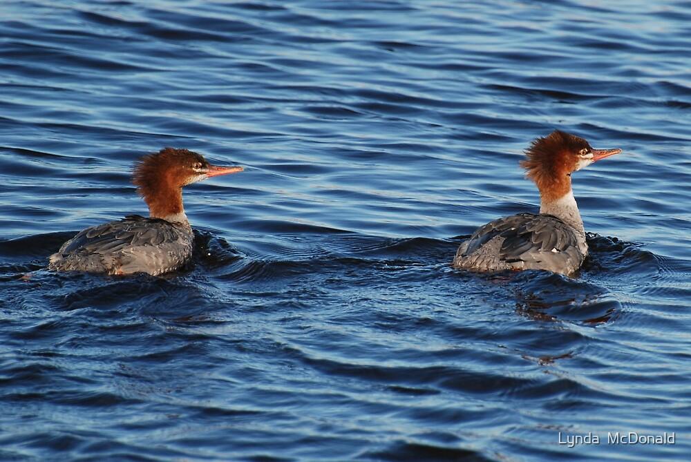 Best Friends - Female Merganser Ducks by Lynda   McDonald
