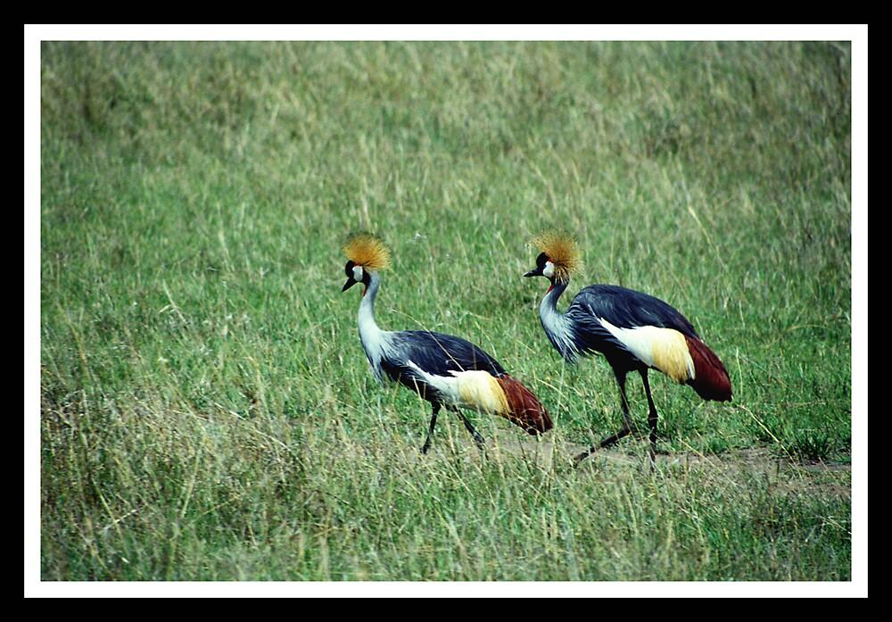 Crowned cranes by satwant