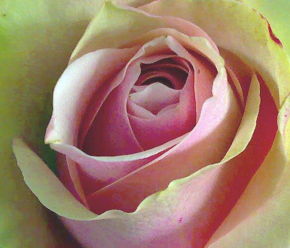 The Perfect Rose by tonyarama