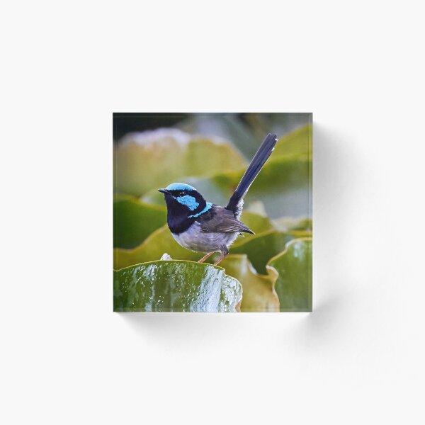 Superb Fairy-wren  Acrylic Block