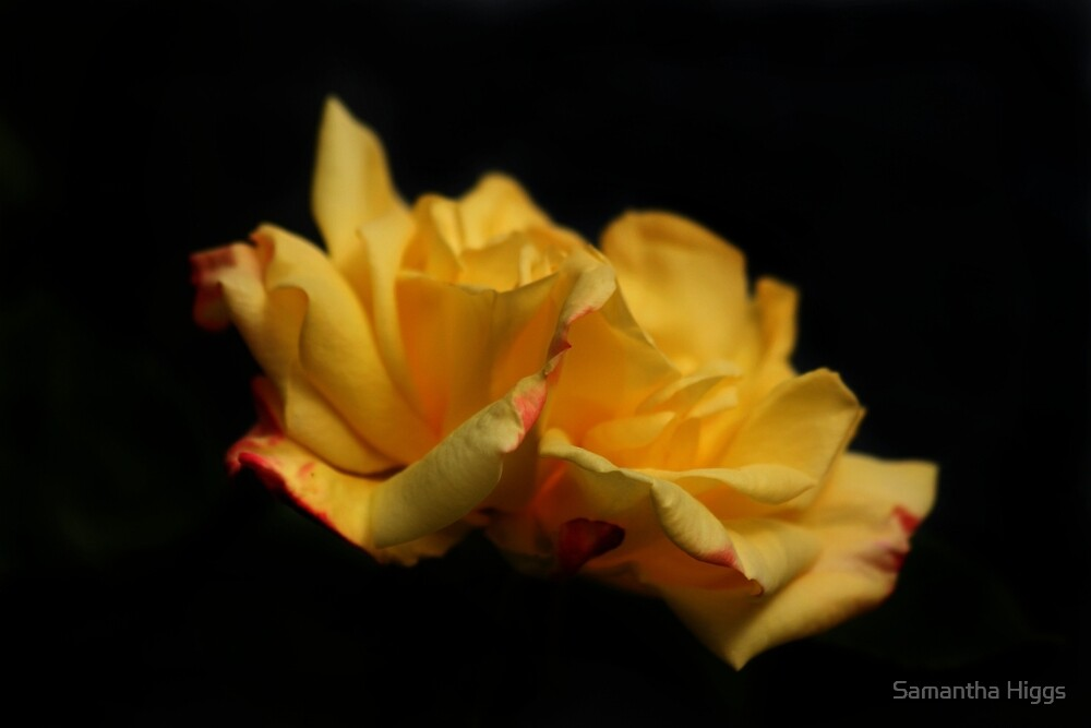 Yellow Rose by Samantha Higgs