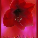 Royal Red Amaryllis Flower, Merry Christmas by toots