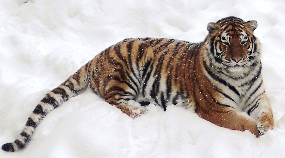 Tiger in the Snow by Braedene