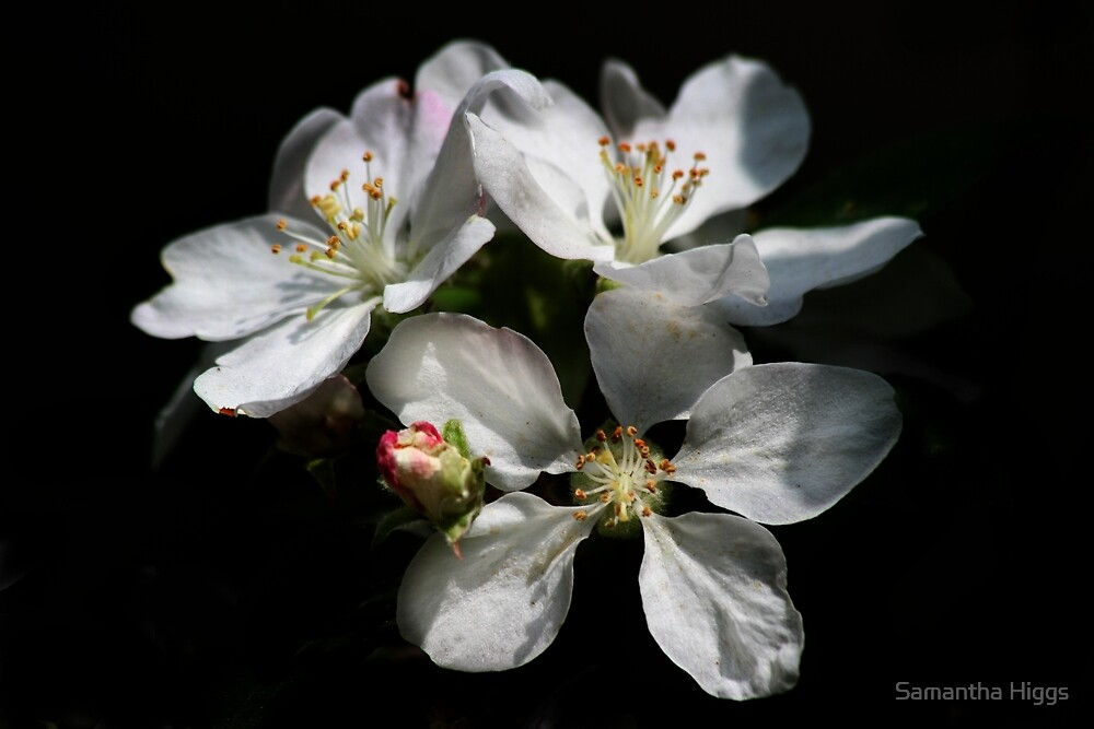 White Blossom by Samantha Higgs