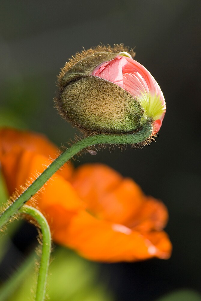 Poppie Bud Bursting by karfarzel