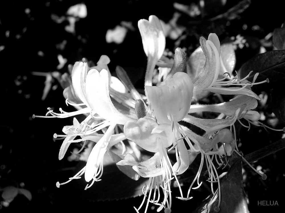 Honeysuckle B&W by HELUA