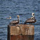 Three Pelicans by Anne Smyth