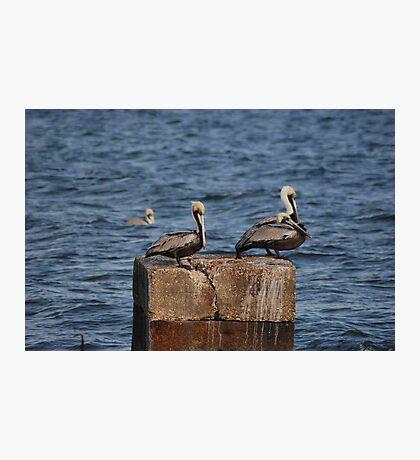 Three Pelicans Photographic Print