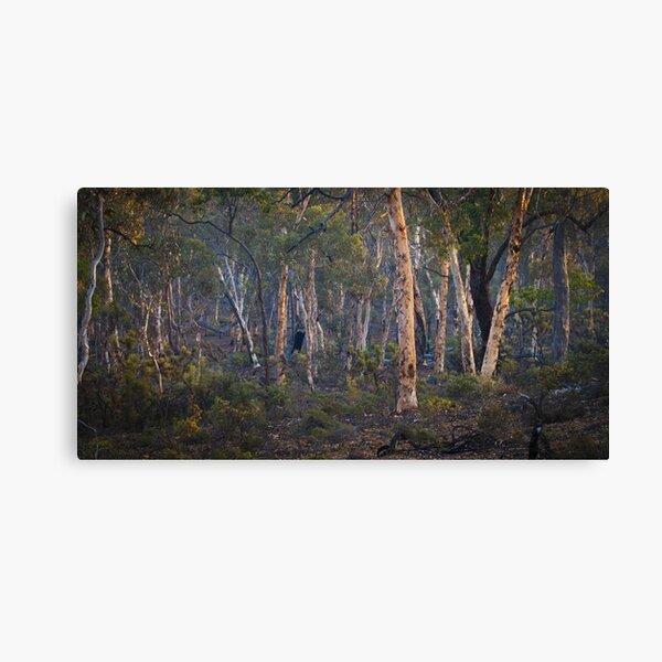 dryandra woodland - western australia Canvas Print