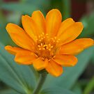 Orange Delight by Virginia N. Fred