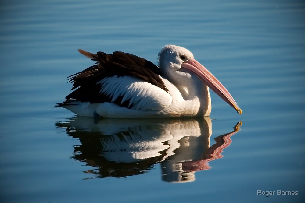 Pelican Reflection I by Roger Barnes