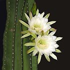 Night Blooming Cactus - cereus by Cayobo