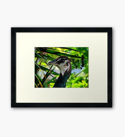 Peacock 1 Framed Print