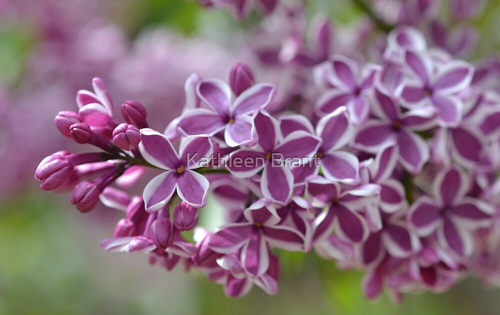 Two-Tone Lilacs by Kathleen Brant