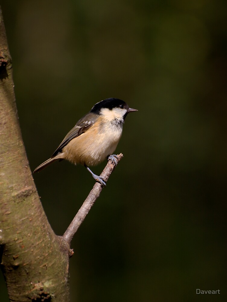 Coal Tit by Daveart