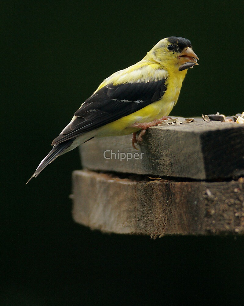 Gold Finch 2 by Chipper