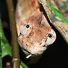 Young Panther Chameleon by AnnDixon