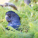 Black Cockatoo by Celine Dubois