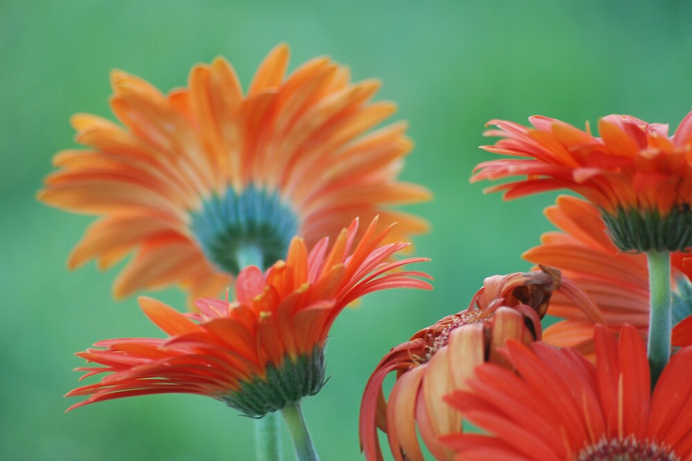 Gerber Daisy by LilyPearl0560