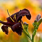 """Root Beer"" Daylily by Michael Cummings"