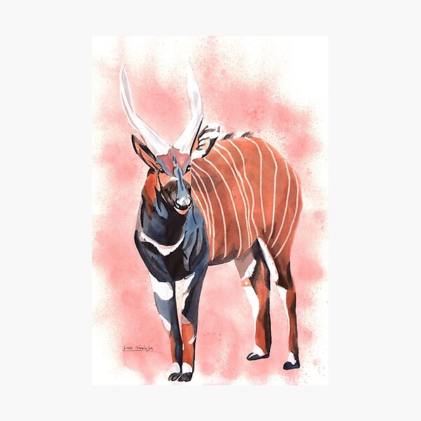Bongo - Antelope Photographic Print