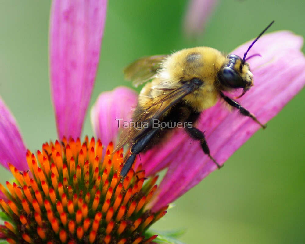 Bumble Bee by Tanya Bowers