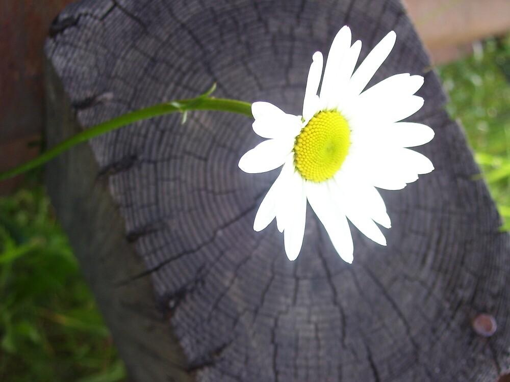 Daisy by SongbirdBreid