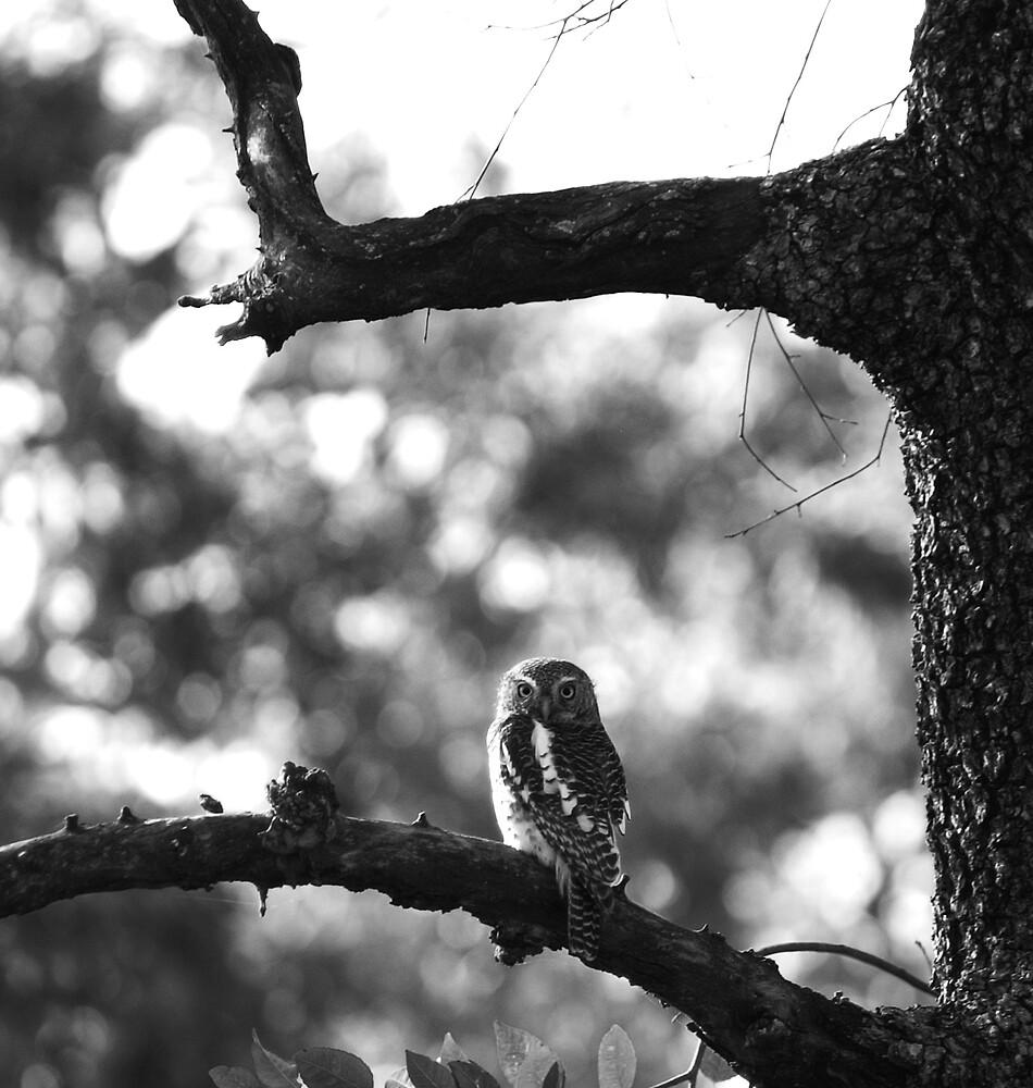 owl by Lauraloz