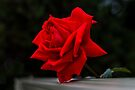The Perfect Red Rose by Elaine Teague