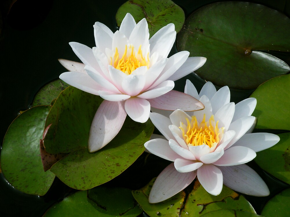 One Lovely Lotus by Jessica Hughes