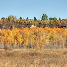 Aspen grove in autumn by Jim Sauchyn