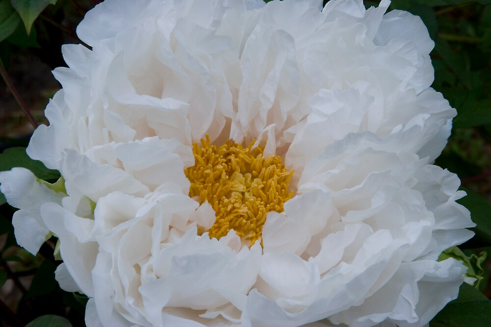 Butter & Cream Peony by Dorothy DuMond Cohen