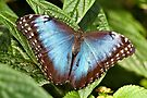 Blue Morpho by PhotosByHealy