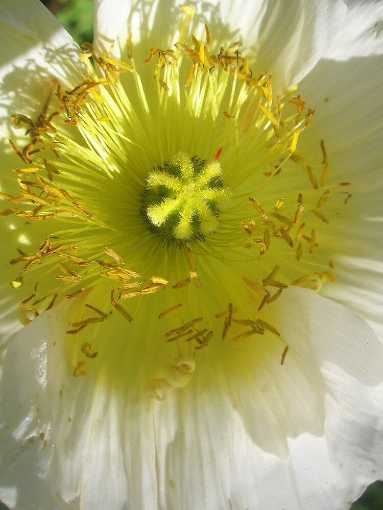 White poppy by Melissa Park