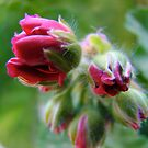 geranium emerging by Jan Stead JEMproductions