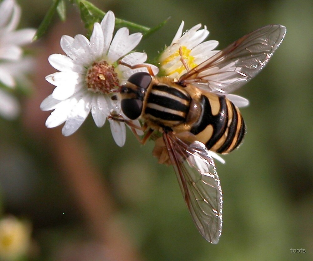 Hover Fly by toots